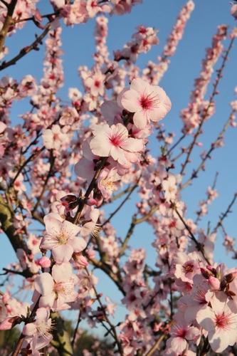 アーモンドの花 (683x1024).jpg